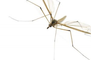 40255302 - this image shows a daddy longlegs (also known as a harvestman, crane fly or cellar spider)